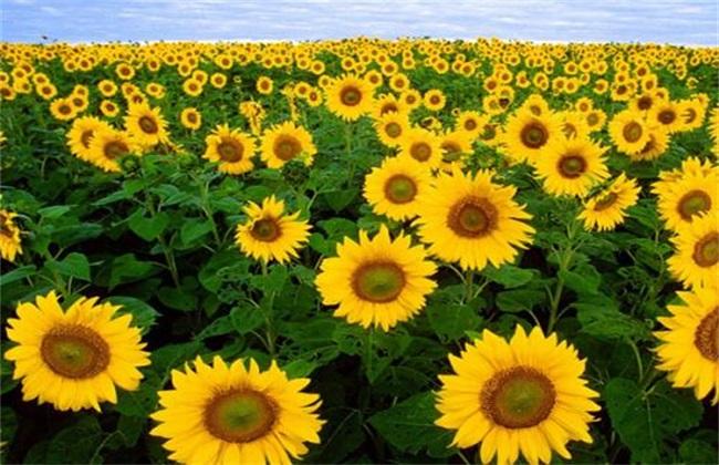 向日葵需要授粉吗图片