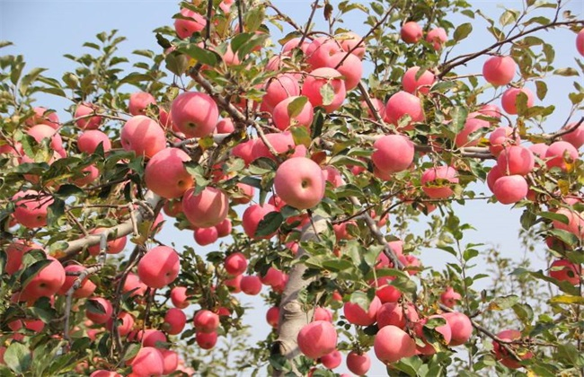 雪后苹果园如何管理