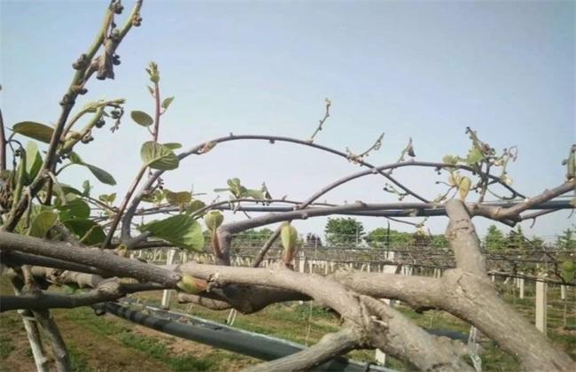 猕猴桃树体受冻怎么办