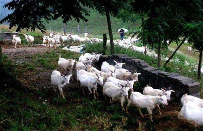 养羊 最易缺乏 微量元素