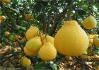 如何提高沙田柚的座果率