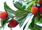 采摘杨梅后的果树管理