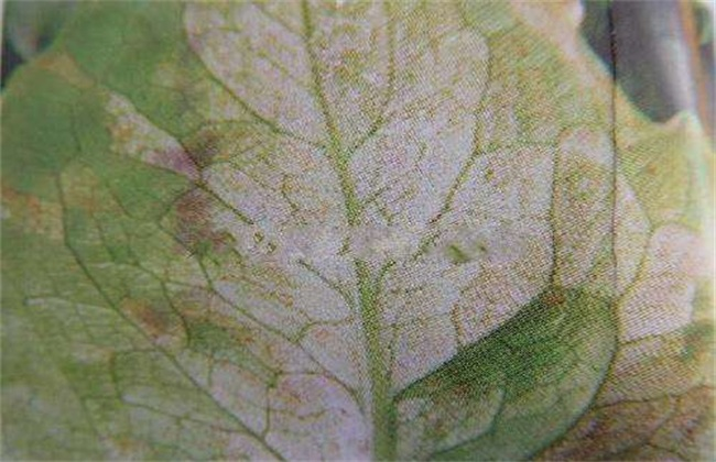 菊苣 常见病害 防治方法