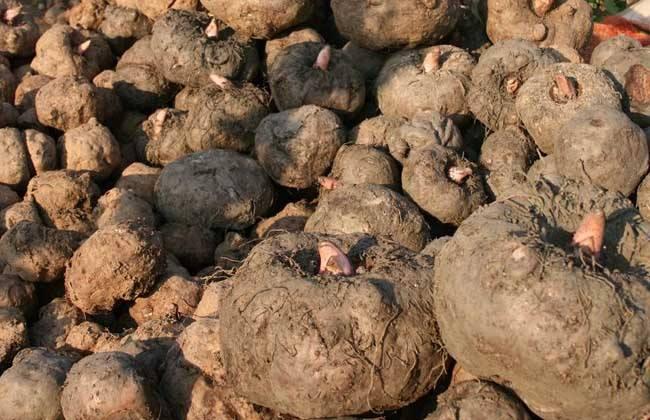 魔芋生长 环境条件 要求