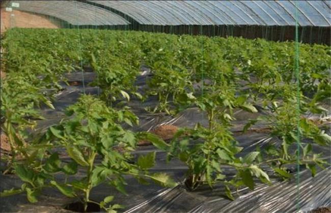 如何预防番茄的早衰