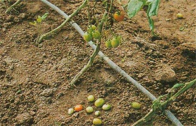 番茄的落花落果原因及预防措施