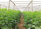 大棚蔬菜发生药害该怎么办