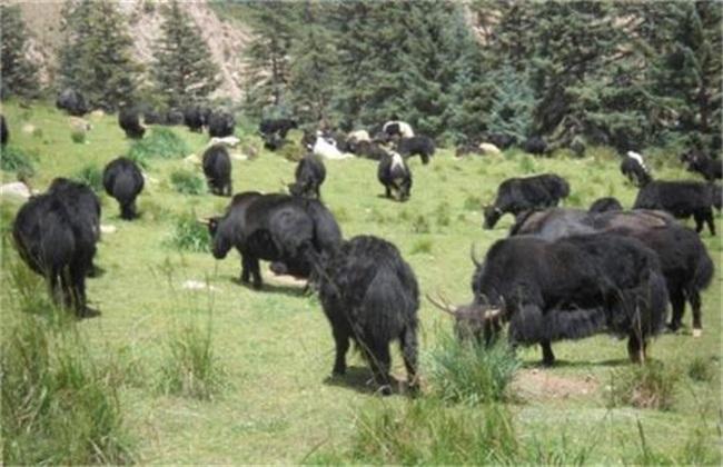 养殖牦牛常见疾病及治疗方法