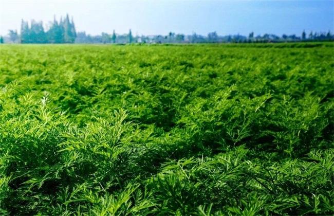 川芎常见病虫害及防治方法