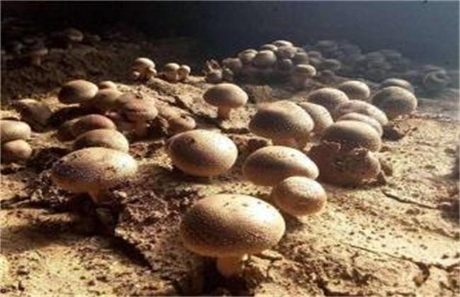 草菇的病虫害防治技术