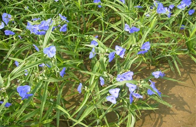 鸭跖草 怎么 种植