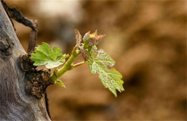 葡萄萌芽不整齐原因及解决措施