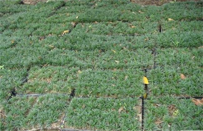 玉龙草 怎么 种植