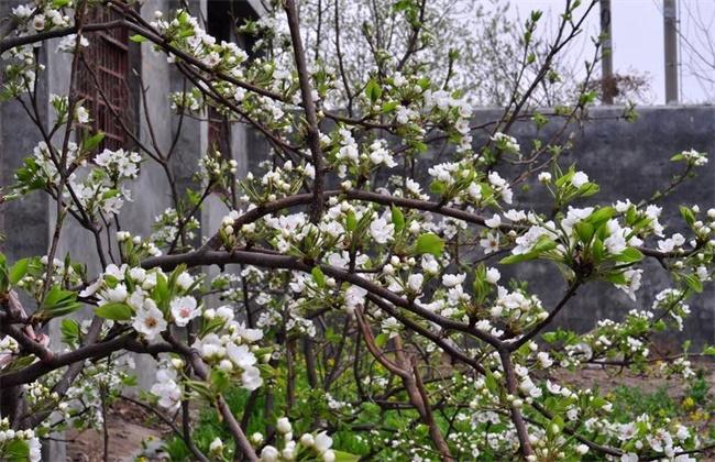 梨树反季节开花的原因及预防措施