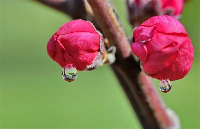 桃树高产优质果树管理