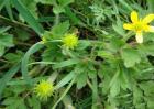 猫爪草该怎么种植