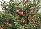 苹果树旺长的原因及解决方法