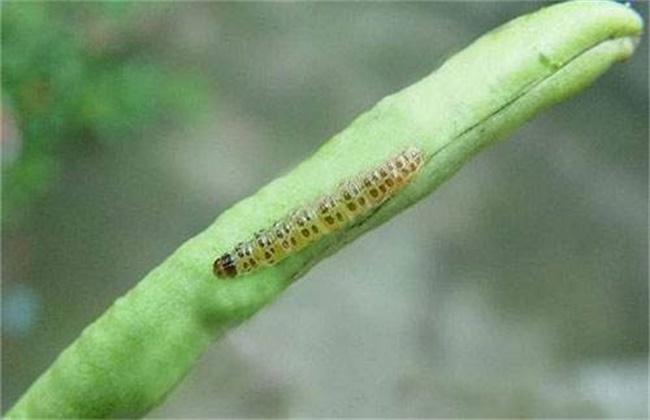 豆角钻心虫的防治技术