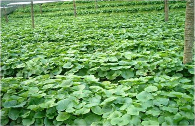 山葵的种植条件