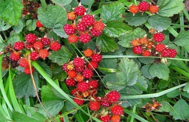野草莓该怎么种