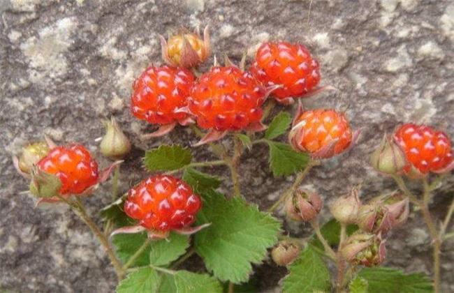 野草莓 种植 怎么管理