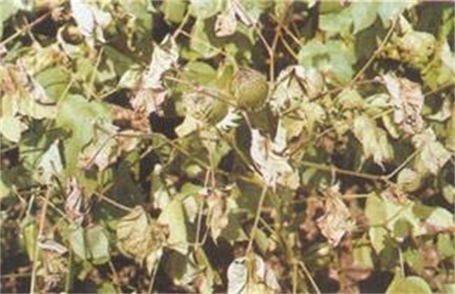 棉花雨后急性萎焉的原因及防治方法