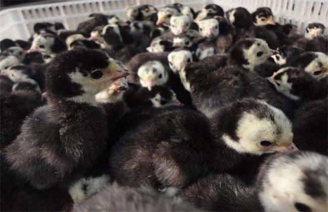 火鸡 养殖 前景