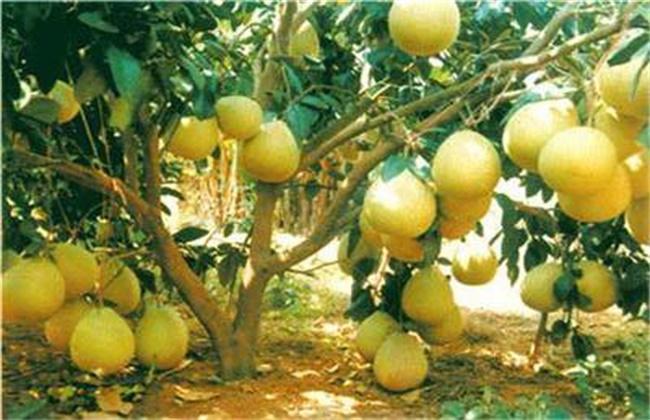 沙田柚高产的栽培技术