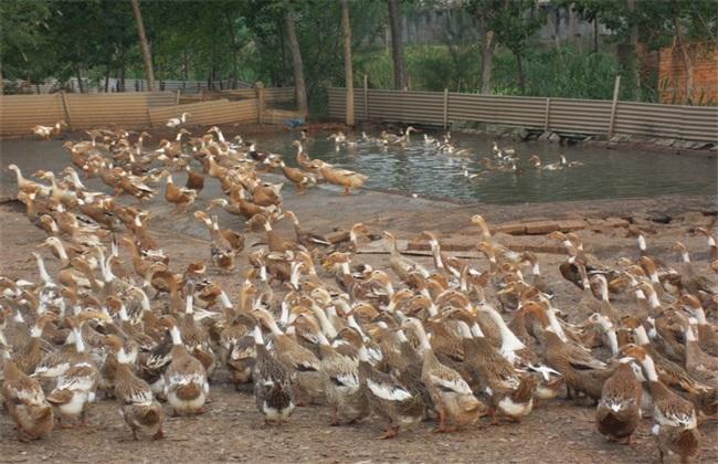 养鸭子赚钱吗