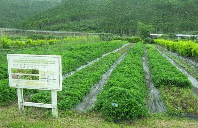 适合 人工种植 野菜