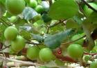 青枣的种植前景如何