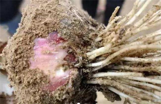 大蒜裂头散瓣形成原因