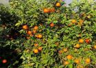脐橙的施肥技术