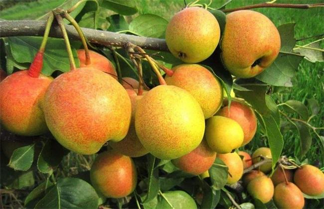 苹果梨怎么种