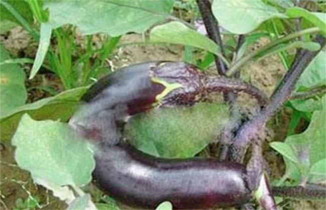 茄子畸形果产生原因及防治方法