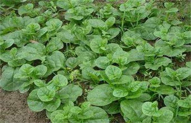 木耳菜病虫害防治技术