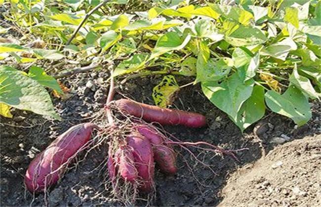 紫薯高产栽培管理技术