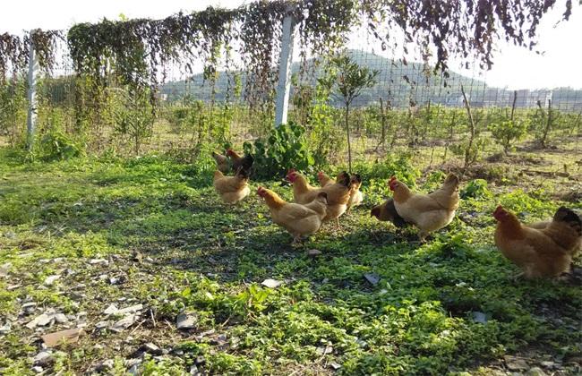 虫子鸡 多少钱 一斤