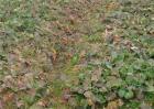 油菜叶色异常的原因及防治方法