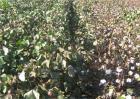 棉花早衰的防治方法