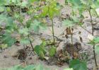 棉花肥害原因及防治方法