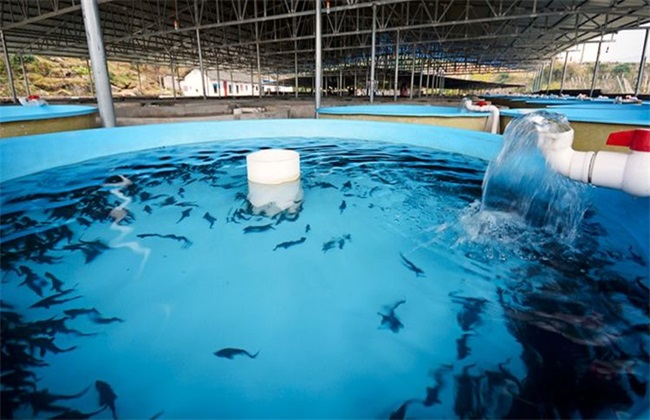 鲟鱼价格多少钱一斤