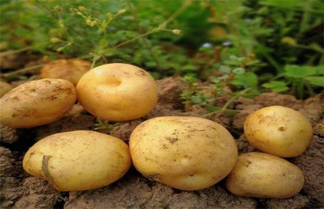 土豆 苗期 管理要点