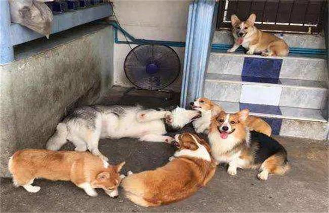 柯基幼犬饲养注意事项