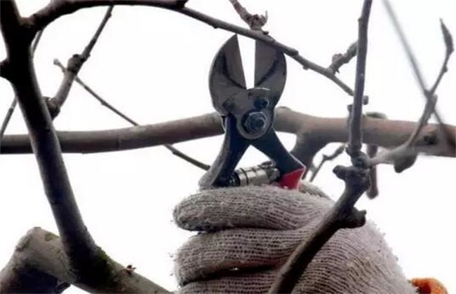 苹果树修剪的几大误区
