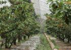 大棚种植樱桃注意事项