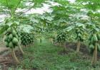 木瓜如何施肥