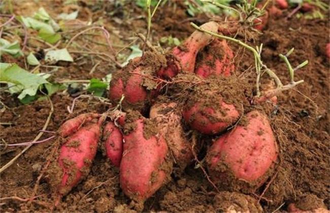 红薯膨大期该怎么管理