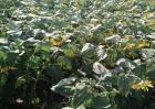 种植向日葵如何防治倒伏
