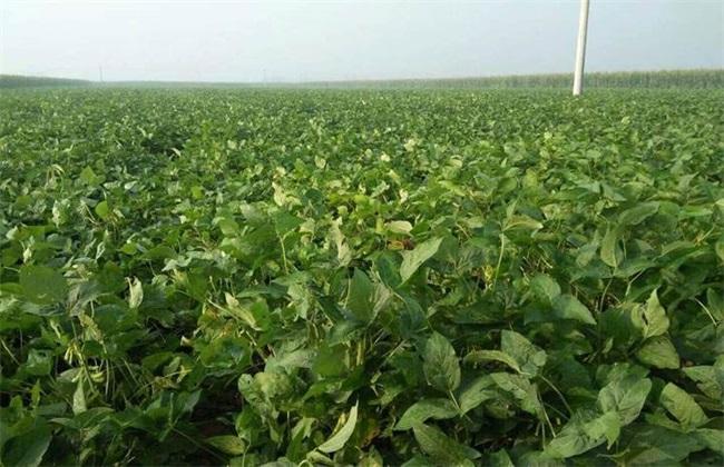 早熟毛豆栽培管理技术